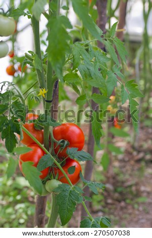 Ripe garden tomatoes ready for picking closeup - stock photo