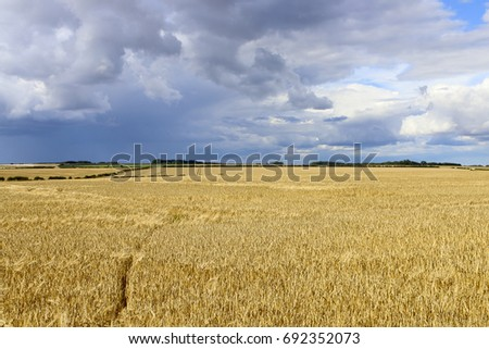 ripe golden barley at harvest time with trees and hedgerows under a stormy summer sky in the yorkshire wolds