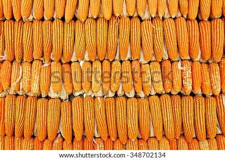 ripe golden maize - stock photo