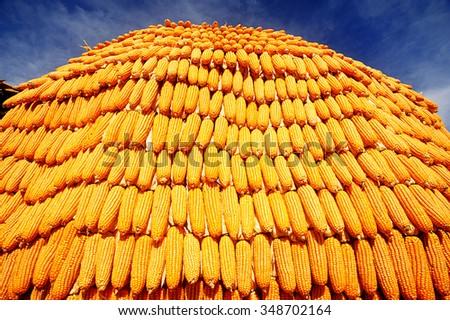 Ripe golden maize. - stock photo