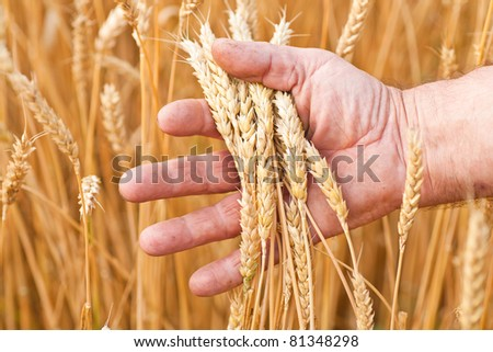 Ripe golden wheat ears in her hand the farmer