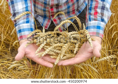 Ripe golden wheat ears in his hand the farmer in checkered shirt