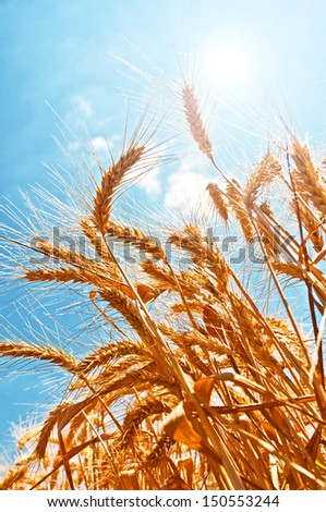 Ripe golden wheat heads on plants against blue sky and sun in harvesting season.
