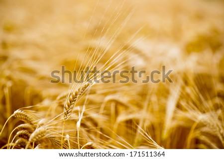 Ripe grain in the sunny summer field - stock photo