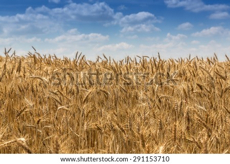 Ripe grain landscape with cloudy blue sky