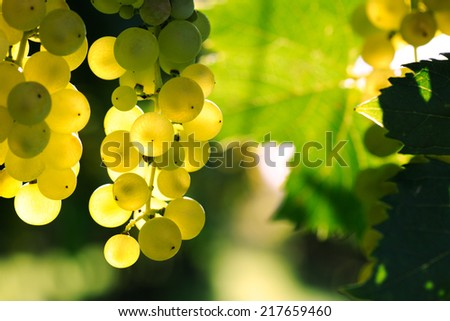 ripe grape - stock photo