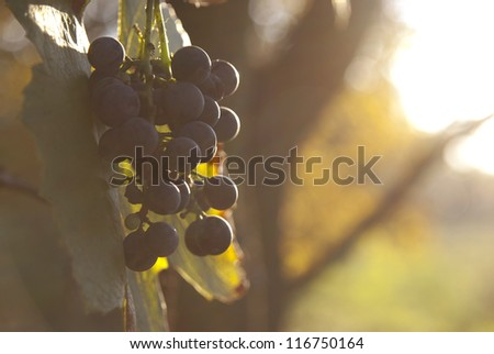 Ripe grape fruit in afternoon sunshine - stock photo
