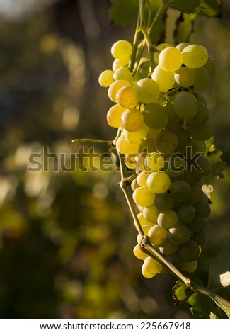 Ripe grapes - stock photo