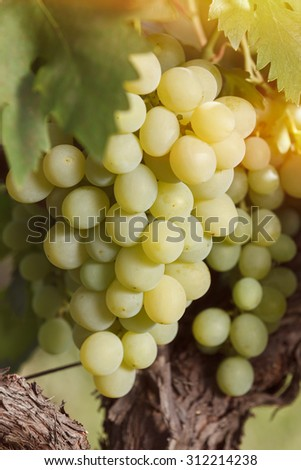 Ripe grapes hanging on vine in sunlight, close up. Soft and blur style for background. A photo with very shallow depth of field  - stock photo