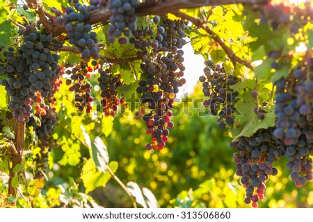 Ripe grapes in a vineyard countryside. - stock photo