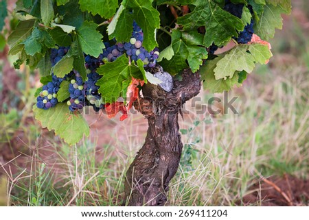 Ripe grapes in autumn, France, Europe - stock photo