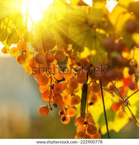 Ripe grapes on a vine with bright sun shining through the green grape leaves. Vineyard harvest season. - stock photo