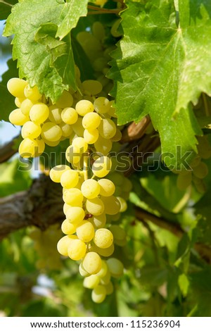 Ripe grapes on branch - stock photo