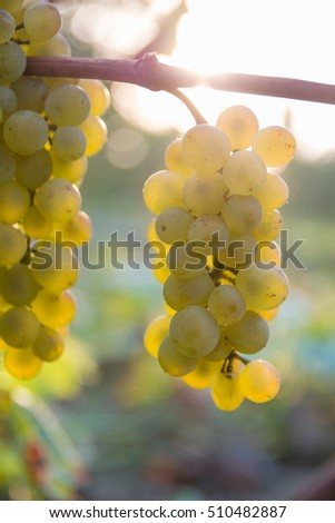 Ripe grapes on branch in sunshine