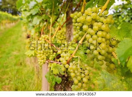 ripe grapes on grape-vine in autumn in vineyard - stock photo