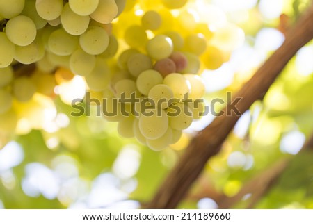 ripe grapes on the nature - stock photo