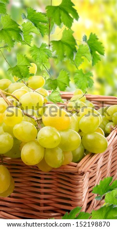 Ripe grapes. The harvest of grapes - stock photo
