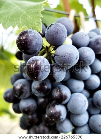 Ripe grapes, wine / - stock photo