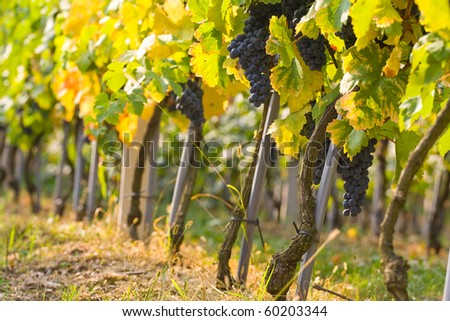 Ripe grapes with colorful leaves in vineyard in autumn ready for harvest.