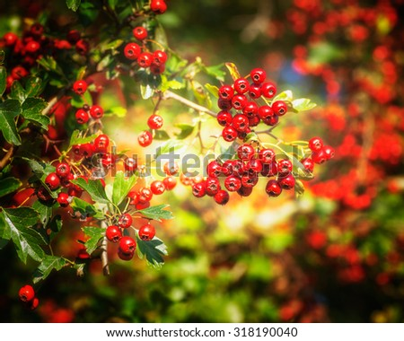 Ripe hawthorn berries in autumn. Beauty in nature  - stock photo