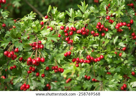 Ripe hawthorn in autumn - stock photo