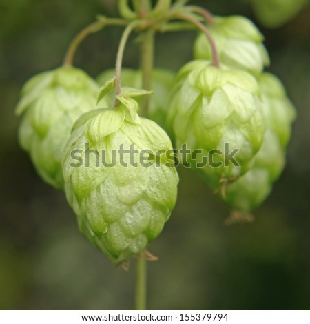 Ripe hop cones branch taken closeup.Beer production. - stock photo