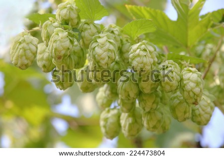 Ripe hop cones branch taken closeup.Beer production. - stock photo