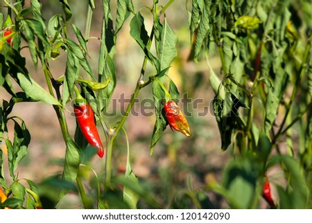 Ripe hot chili peppers ready for picking - stock photo