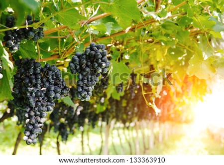Ripe, juicy bunches of  grapes hang on the vine. There are green leaves around the grapes, sunlight makes the way through them. Nobody is around. - stock photo