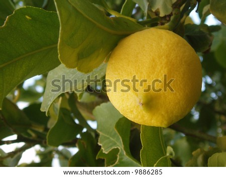 Ripe lemon growing on lemon tree