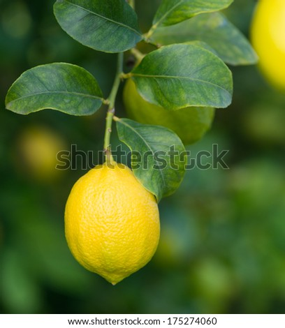 Ripe  lemon on a tree. Close-up, shallow DOF.
