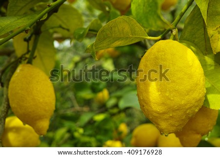 Ripe lemons hanging on a tree in Corfu, Greece with the leaves in the garden