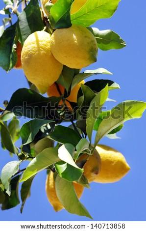 Ripe lemons on blue sky background - stock photo