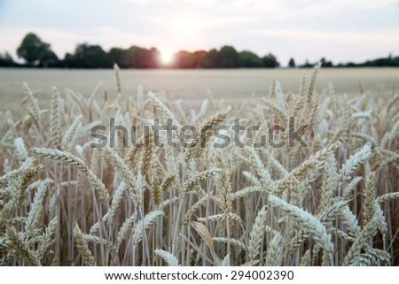 Ripe light yellow barley ears on endless big barley field on  evening sunset background, rural landscape on the German field near Eppelheim, Heidelberg and Mannheim - stock photo