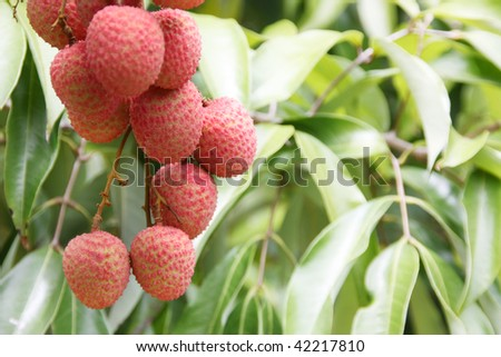 Ripe lychees bunch on tree with leaf background