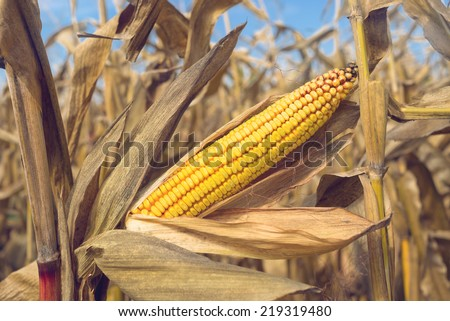 Ripe maize corn ear on the cob in cultivated agricultural corn field ready for harvest picking