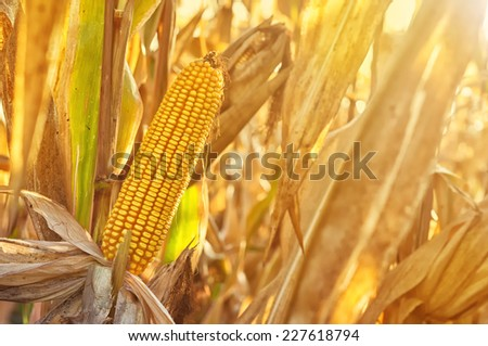 Ripe maize corn ear on the cob in cultivated agricultural field ready for harvest picking - stock photo