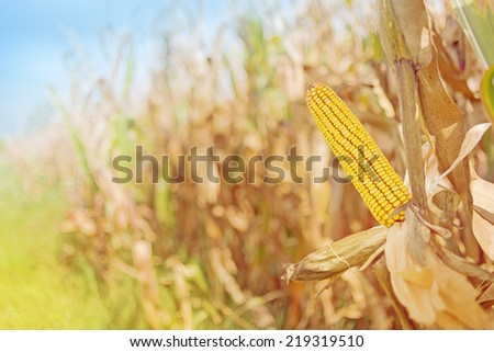Ripe maize ear in cultivated agricultural corn field ready for harvest picking - stock photo