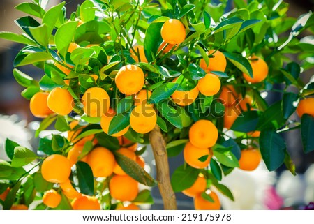 ripe mandarines growing on the tangerine tree - stock photo