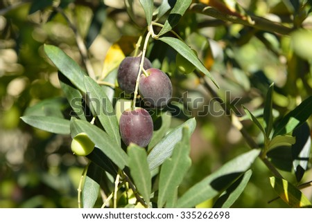 Ripe mediterranean olives. Olive trees garden, organic olives ready for harvest. Image toned. - stock photo