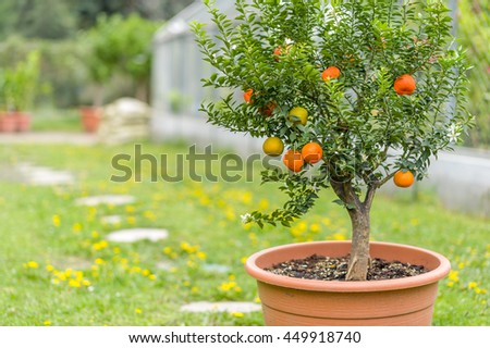 Ripe mini mandarins hanging on tree in pot - stock photo