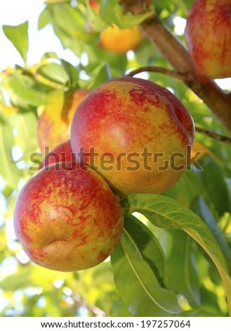 Ripe Nectarines on the Tree - stock photo