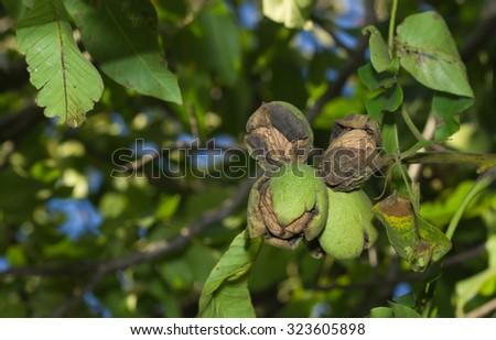 Ripe nuts of a Walnut tree. Close up - stock photo
