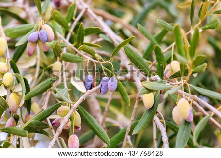 Ripe olive in shallow DOF on branch - stock photo