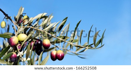 Ripe olives on branch - stock photo
