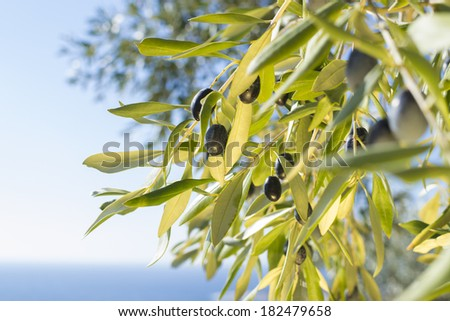 Ripe olives on tree branches with the blue sea and sky out of focus in the background on the island of Thassos, Greece - stock photo