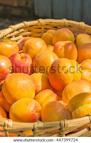 Ripe orange apricot close up in a wicker basket in the summer garden in evening sunlight - stock photo