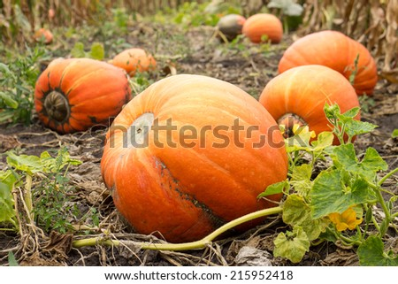 Ripe orange pumpkins with vine at the field in autumn - stock photo