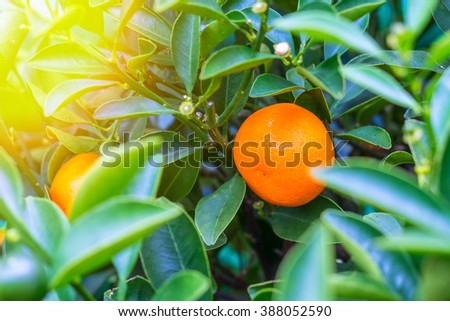 ripe orange tangerines on a branch with green leaves in a green house in a pot - stock photo