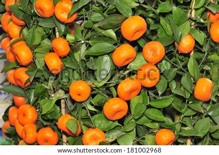 Ripe oranges hanging in a tree, and close-up pictures, in the north of China